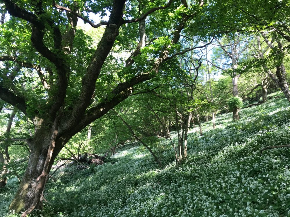 Searching for Wild Garlic